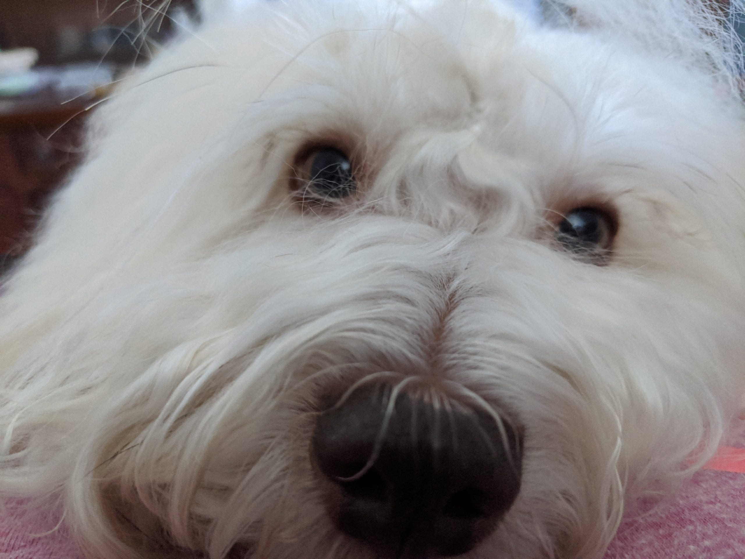 Red Tear Stains Gone From White Dog'S Hair